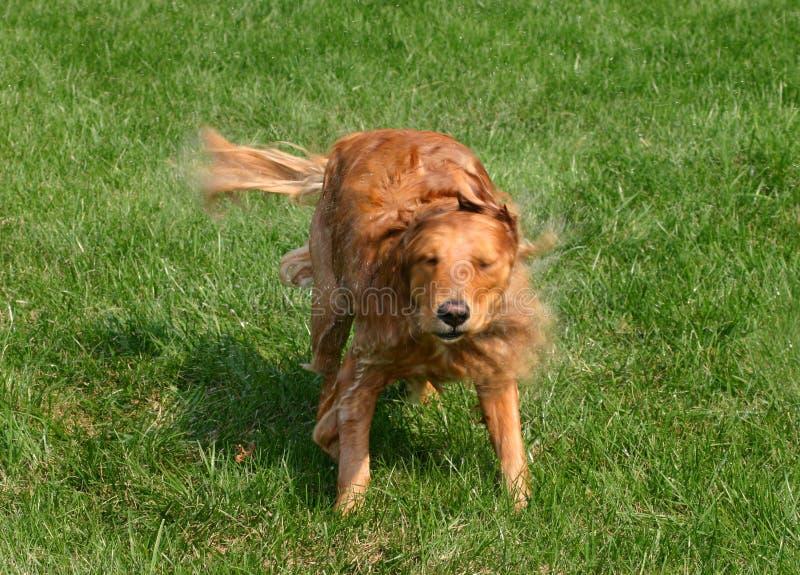 Dog Shaking stock photography