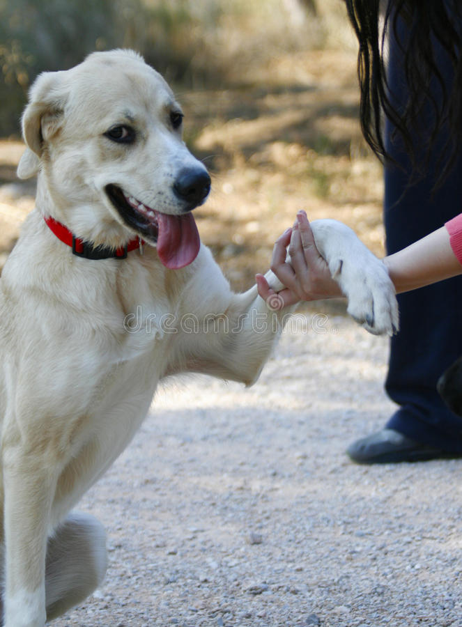 Dog shaking hands stock photography