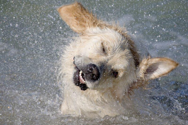 Dog shaking head royalty free stock image
