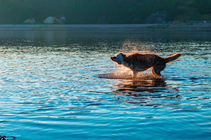 Dog shaking off water standing in shallow water. Evening landscape with a silhouette of a dog in the rays of the setting sun. stock photography