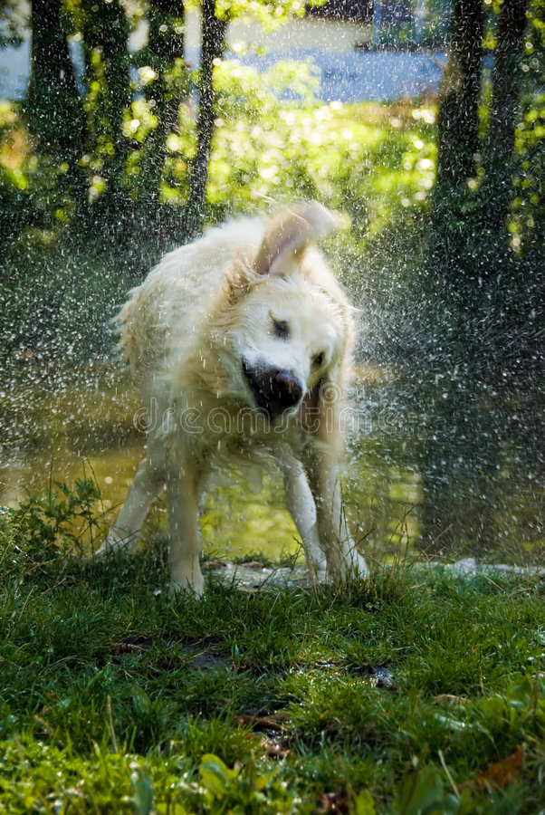 Dog Shaking Water Royalty Free Stock Photography