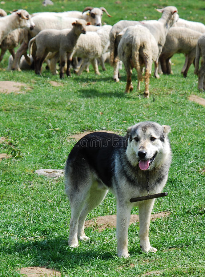 Dog shepherd in mountains royalty free stock photos