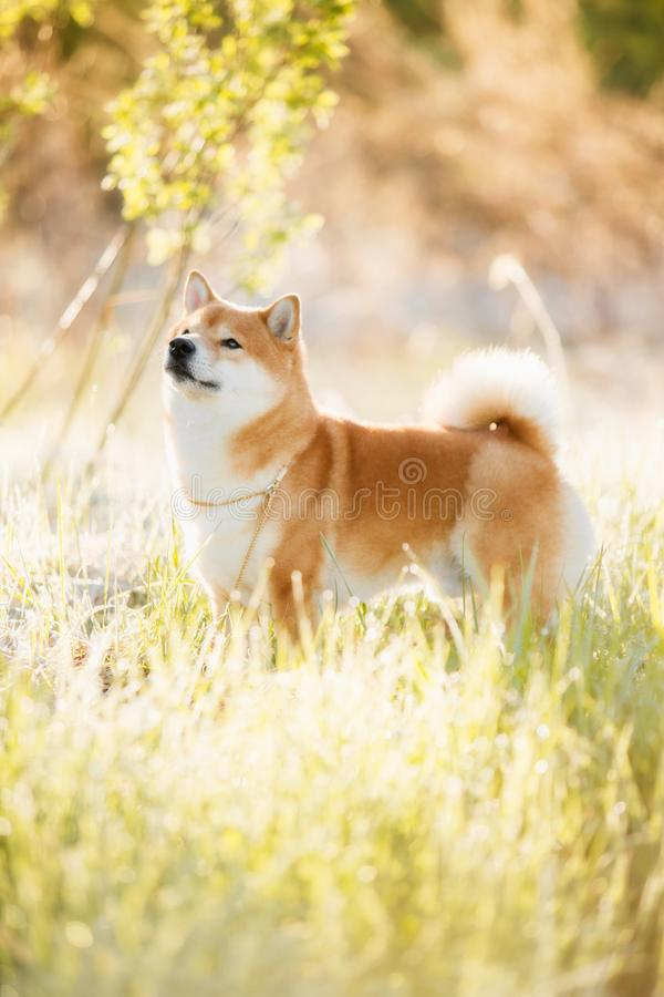 A dog of the Shiba Inu breed is standing against the background of the forest royalty free stock images