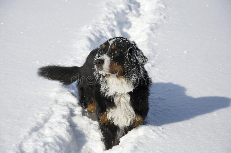 Dog in the Show. Bernese. royalty free stock photos