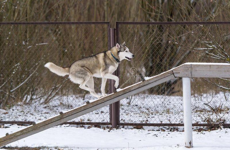 The dog Siberian husky and obedience training in winter. The dog runs on a narrow and long path royalty free stock images