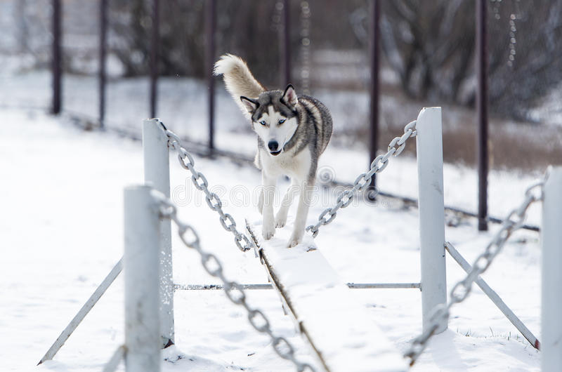 The dog Siberian husky and obedience training in winter. The dog runs on an unstable path stock image