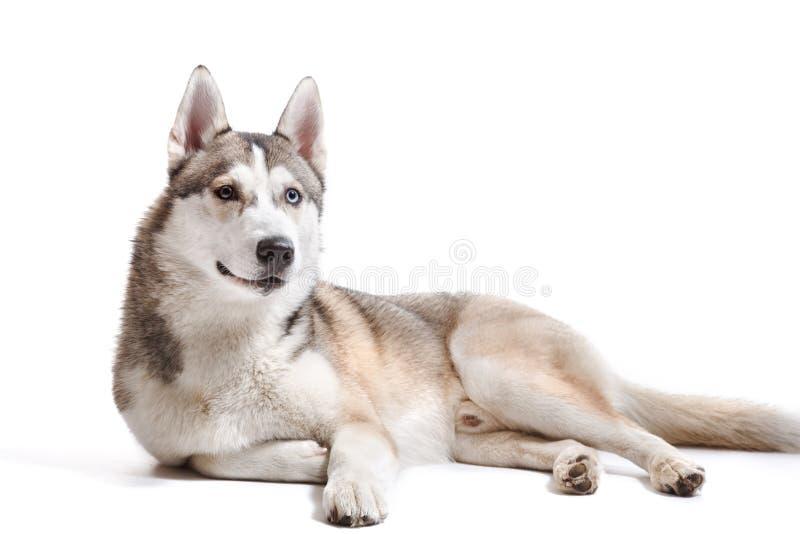 Dog Siberian skrovligt för avel på en vit bakgrund royaltyfria bilder