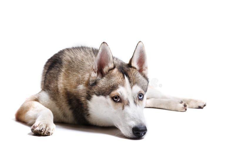 Dog Siberian skrovligt för avel på en vit bakgrund royaltyfria foton