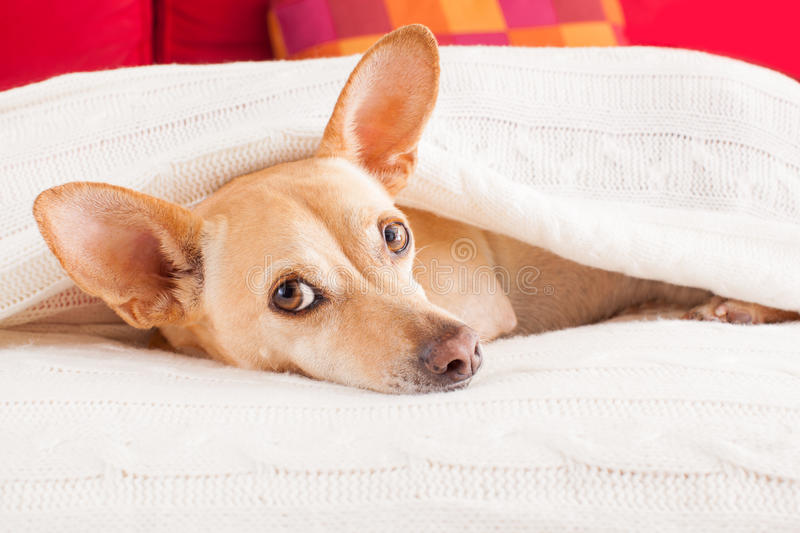 Dog sick , ill or sleeping. Chihuahua dog sleeping under the blanket in bed the bedroom, ill ,sick or tired, sheet covering its head stock photos