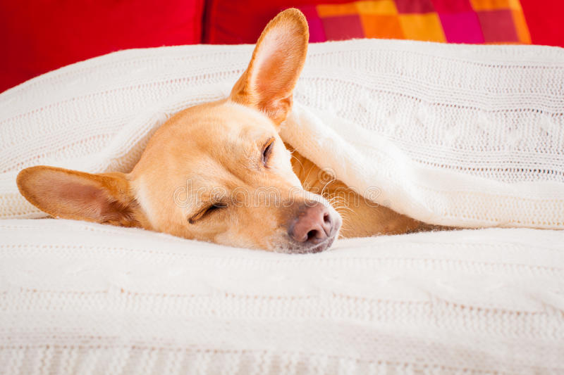 Dog sick , ill or sleeping. Chihuahua dog sleeping under the blanket in bed the bedroom, ill ,sick or tired, sheet covering its head royalty free stock images