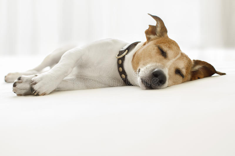 Dog sick , ill or sleeping. Jack russell dog sleeping on the blanket in bed in bedroom, ill , sick or tired, eyes closed royalty free stock images