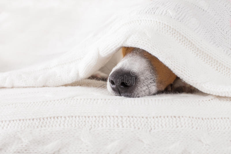 Dog sick , ill or sleeping. Jack russell dog sleeping under the blanket in bed the bedroom, ill ,sick or tired, sheet covering its head stock photography