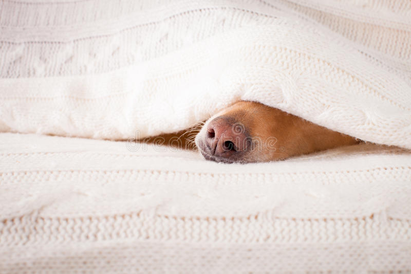 Dog sick , ill or sleeping. Jack russell dog sleeping under the blanket in bed the bedroom, ill ,sick or tired, sheet covering its head royalty free stock photos