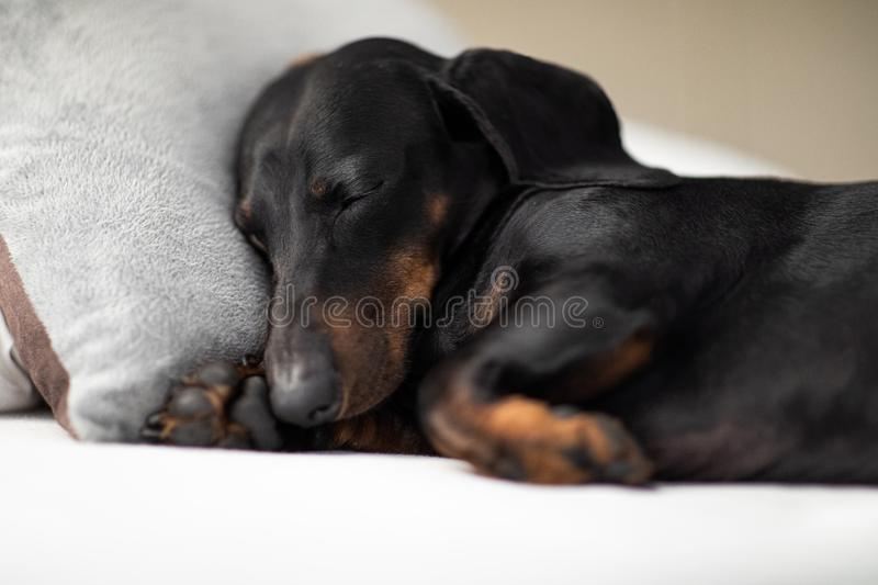 Dog sick , ill or sleeping. Sausage dachshund dog  sleeping under the blanket in bed the  bedroom, ill ,sick or tired, sheet covering its body stock photos