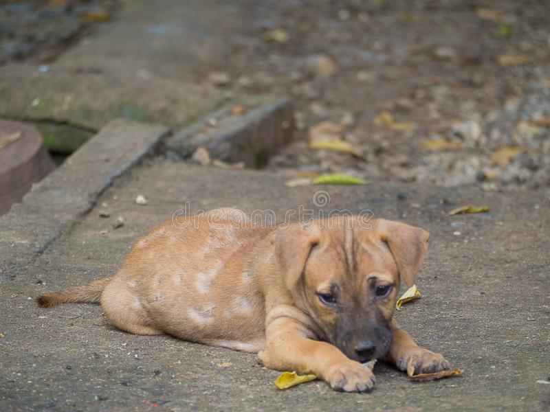 Dog sick leprosy skin problem. Dog sick leprosy skin problem , in Thailand royalty free stock photography