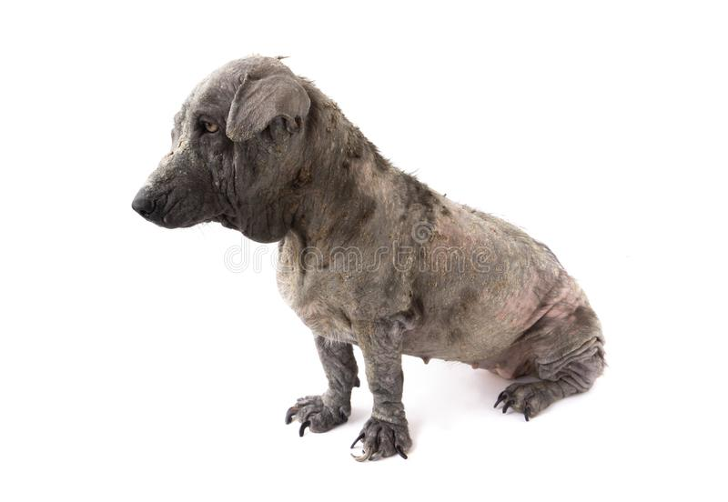 Dog sick leprosy skin problem with pregnant on white background. Dog sick leprosy skin problem with pregnant royalty free stock images