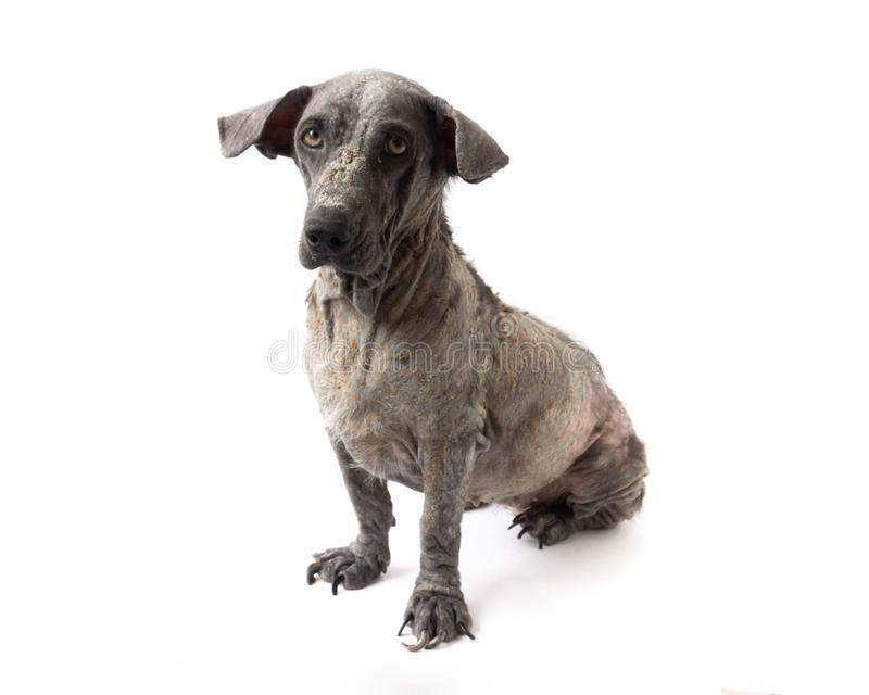 Dog sick leprosy skin problem with pregnant on white background. Dog sick leprosy skin problem with pregnant stock photo