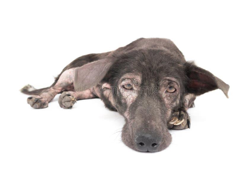 Dog sick leprosy skin problem with white background. Dog sick leprosy skin problem with white background royalty free stock photos