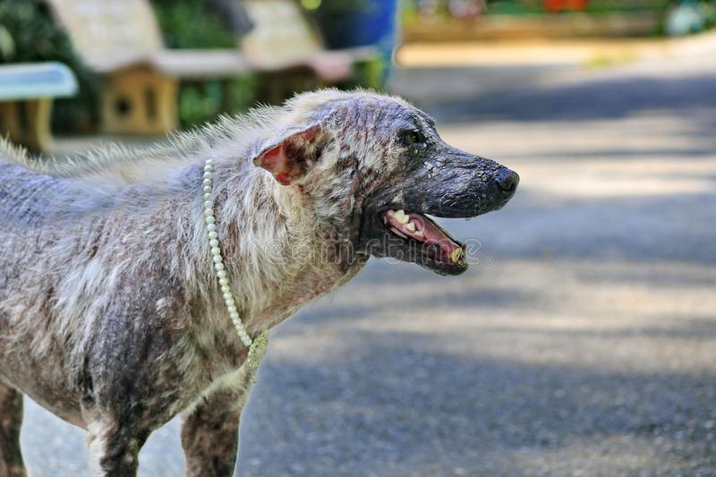 Dog that are sick are skin diseases.  royalty free stock photo