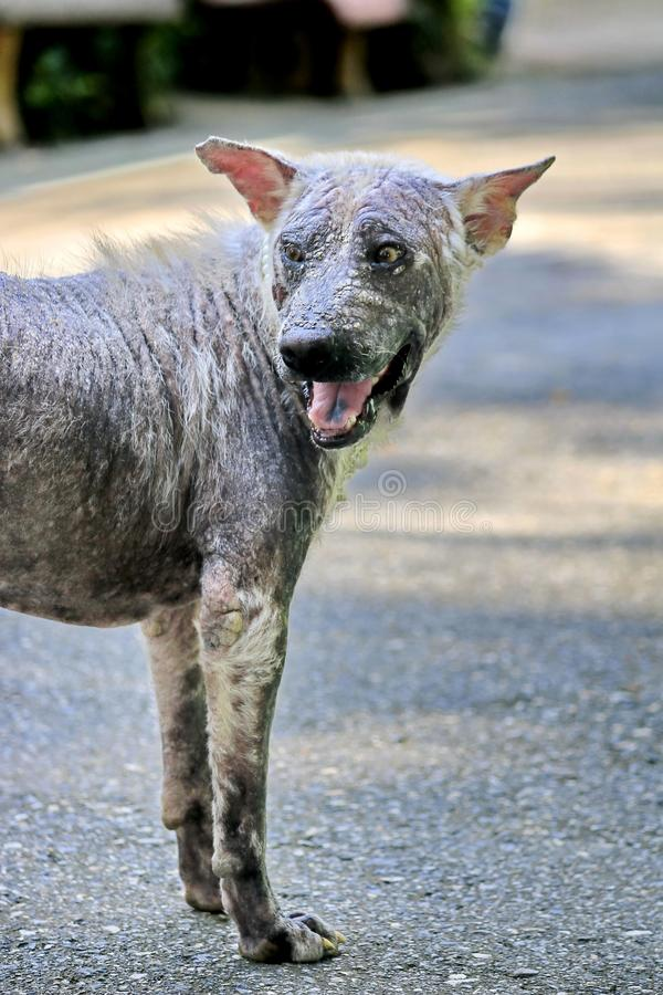 Dog that are sick are skin diseases.  royalty free stock image