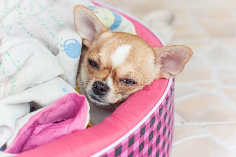Dog, sick. Dog sick tiny chihuahua hurt bed royalty free stock photography