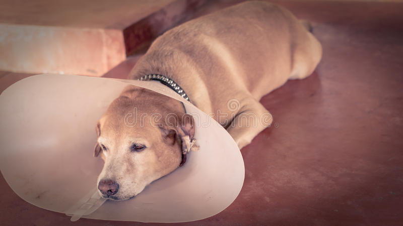 Dog sick. Were big collar royalty free stock photos