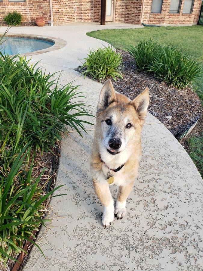 Dog in side walk by pool. Dog side walk pool fuzzy grass stock image