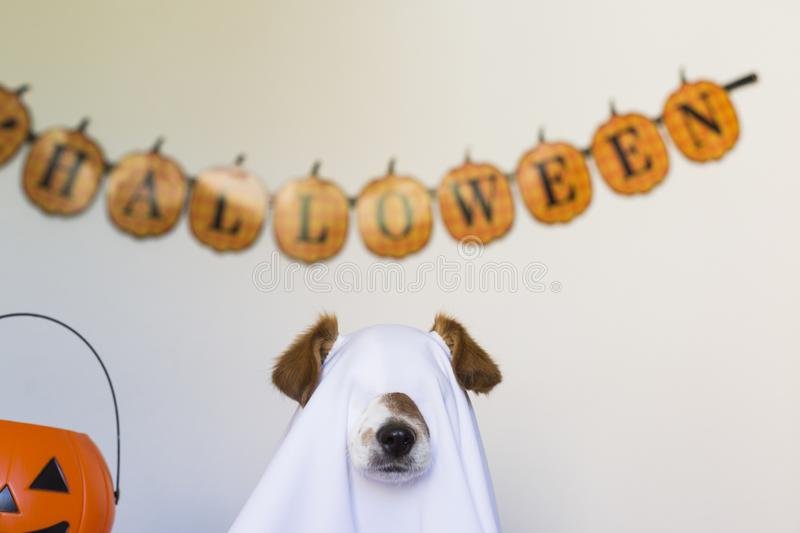 Dog sit as a ghost for halloween on bed at home. Pets indoors. Cute little dog sit as a ghost for halloween on bed at home. Pets indoors, haunt, humor, joke stock image