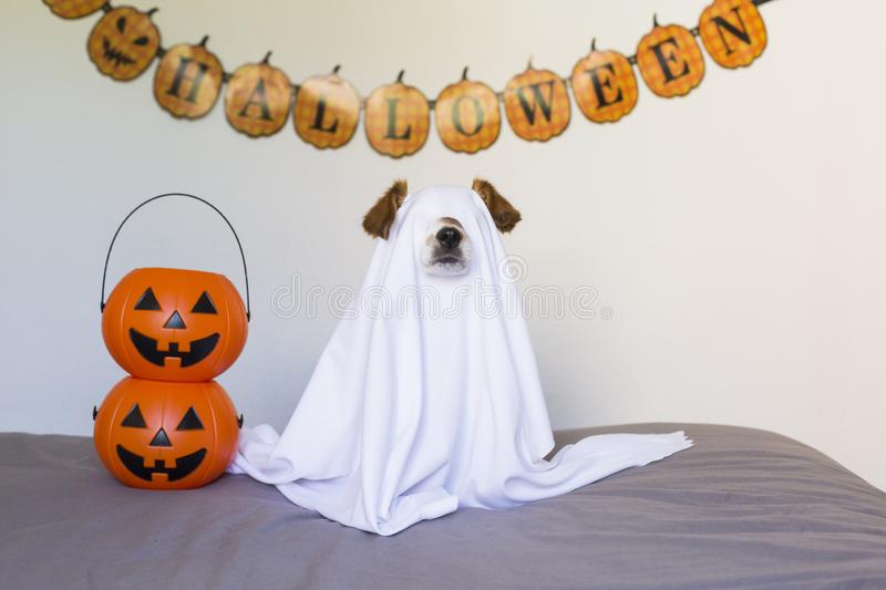 Dog sit as a ghost for halloween on bed at home with pumpkins next to him. Pets indoors. Cute little dog sit as a ghost for halloween on bed at home with stock photography