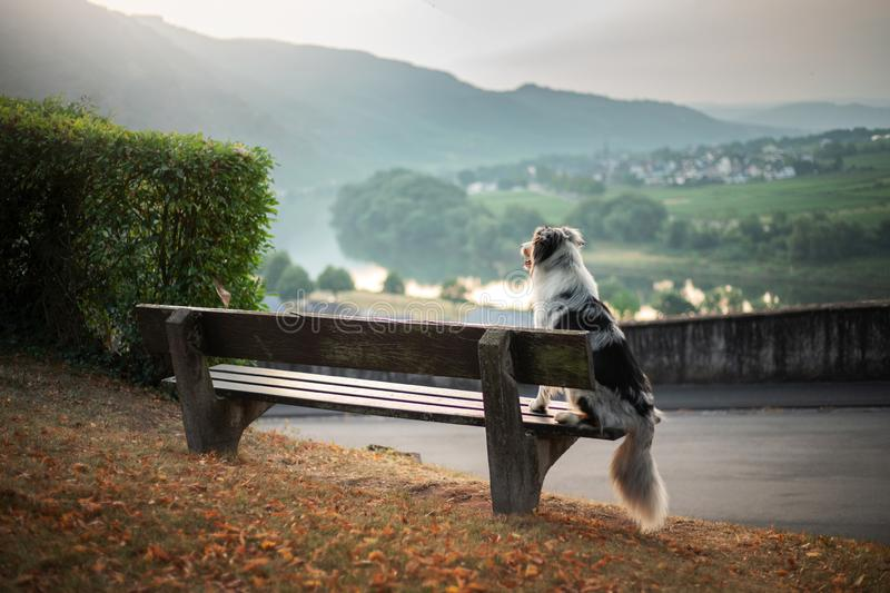 The dog sits on a bench and looks at the dawn. Marble australian shepherd in nature. Walk royalty free stock photos