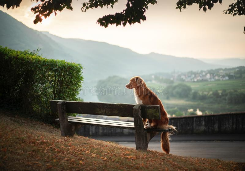 The dog sits on a bench and looks at the dawn. red Nova Scotia Duck Tolling Retriever, Toller in nature. royalty free stock photo