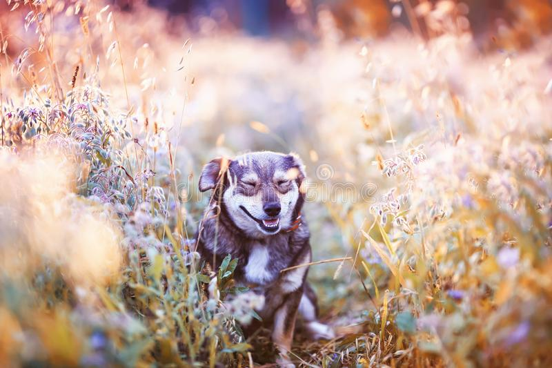 Dog sits on a clear Sunny meadow and smiles happily on a warm summer day. Cute dog sits on a clear Sunny meadow and smiles happily on a warm summer day stock photography