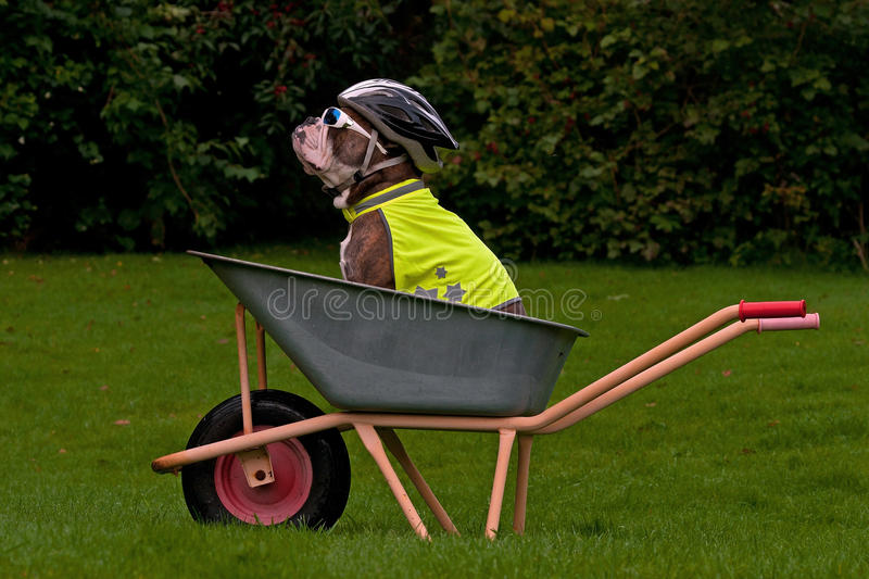 Dog sits protected in a wheelbarrow royalty free stock photos