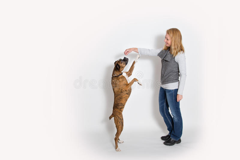 Dog sits up for a treat. Dog sits or stands up for a treat from owner - white background