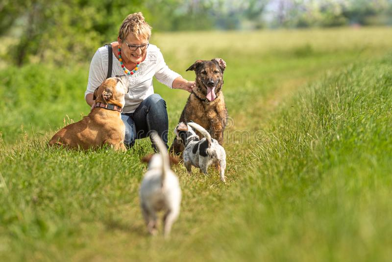 Dog sitter is walking  with many dogs on a leash. Dog walker with different dog breeds in the beautiful nature royalty free stock image