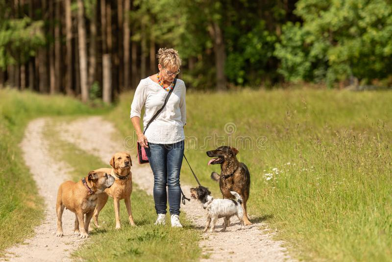 Dog sitter is walking  with many dogs on a leash. Dog walker with different dog breeds in the beautiful nature. Dog sitter walks  with many dogs on a leash. Dog stock photos