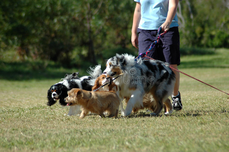 Dog-sitter at work royalty free stock photo