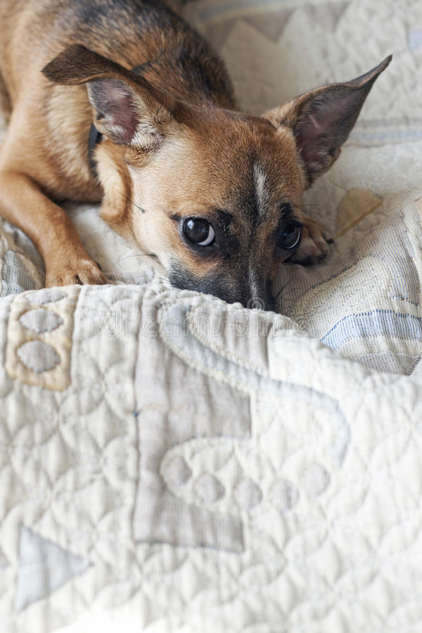 Dog sitting. On the bed of the owner royalty free stock images