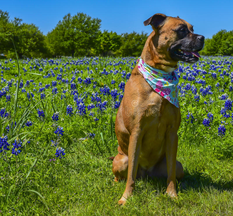 Dog sitting alone in a field of Bluebonnets stock photography