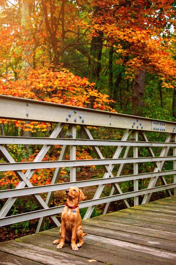 Dog sitting on Autumn bridge in the woods royalty free stock photos