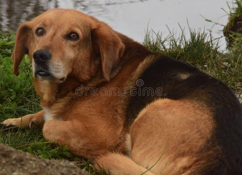 Dog sitting with sad look royalty free stock image