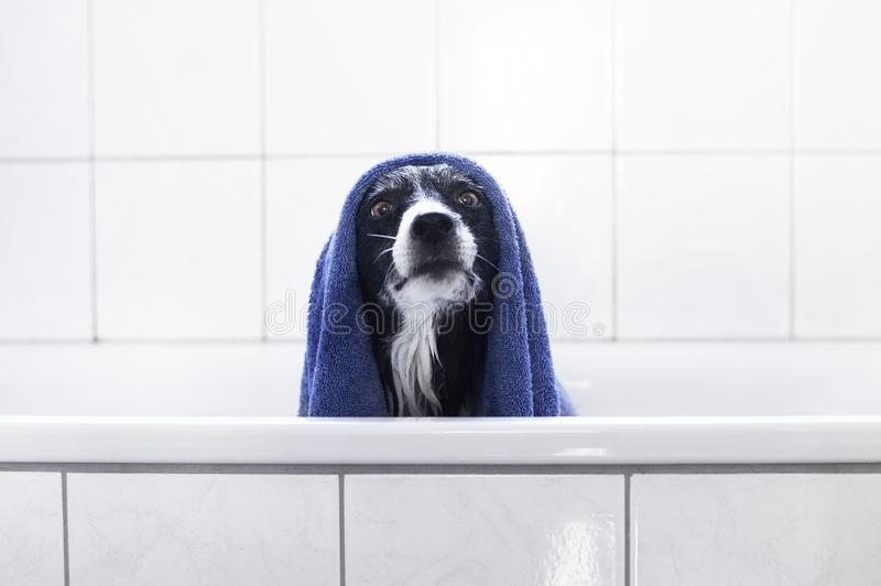 Dog Sitting in Bath. Black and White Border Collie after Bathing with Blue Towel on Head stock photography