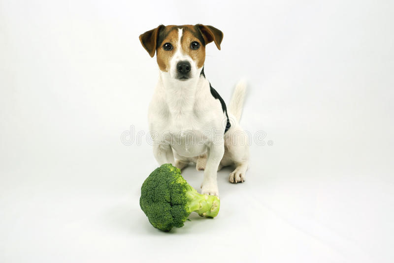 Dog sitting with broccoli royalty free stock photography