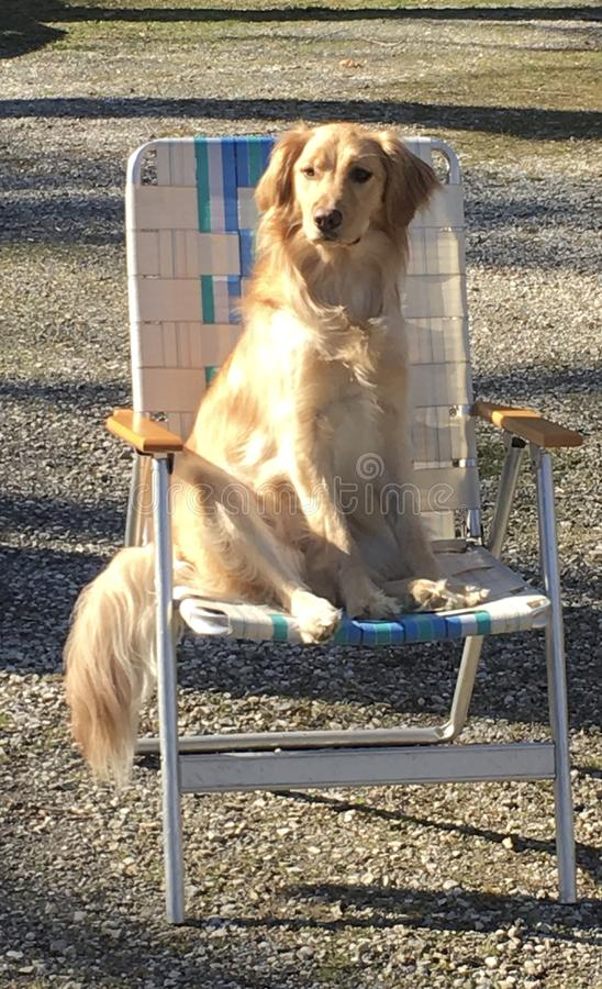Dog sitting on chair royalty free stock photo