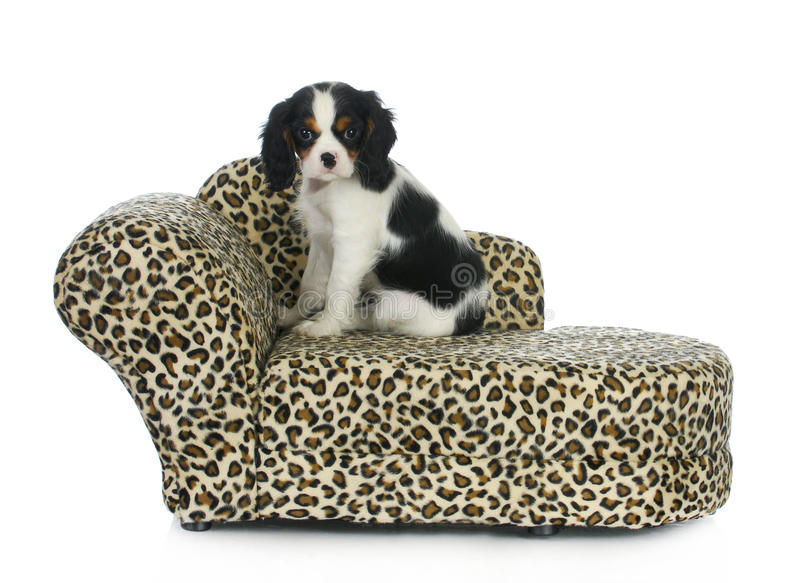 Dog Sitting On Couch Stock Images