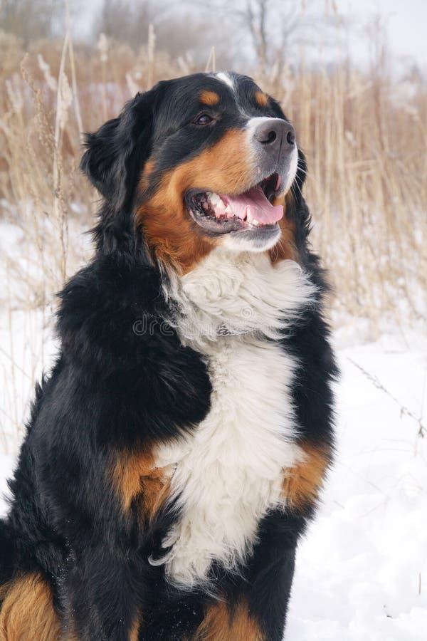 Dog sitting at dry reed royalty free stock photos