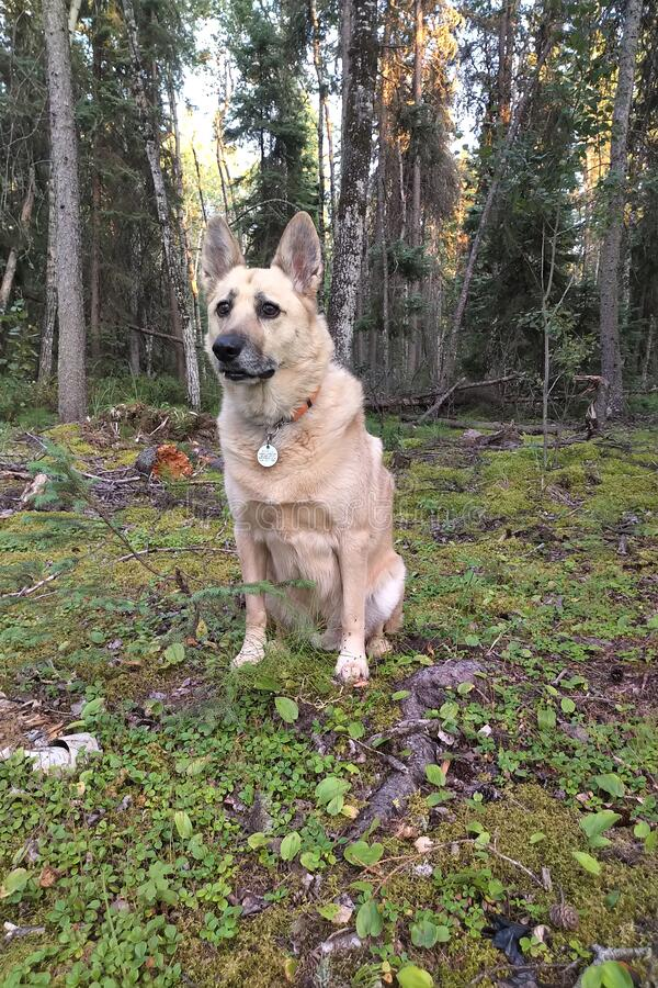 Dog sitting in the forest stock photo