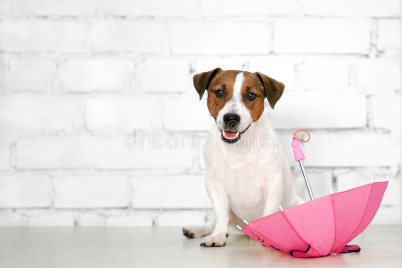 Dog sitting in front of a white brick wall and pink umbrella stock image