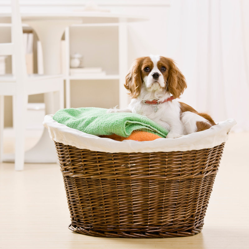 Dog sitting in laundry basket royalty free stock photography