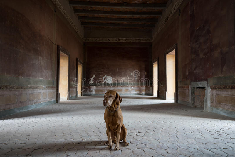 Dog sitting in medieval abandoned room. Dog sitting in a room of the abandoned hacienda jaral de berrio in mexico stock photos